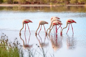 Group of flamingos eating III
