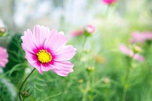 pink flora flowers in the garden