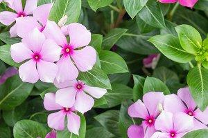 daisy pink flowers
