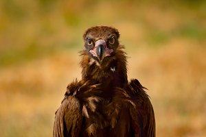 Wild black vulture
