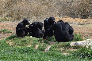 Chimpanzees Wild Animals