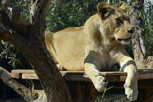 Lioness Wild Animal