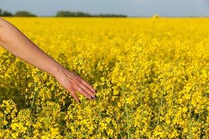 yellow flowers of rape
