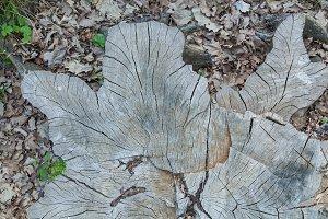 stump of oak