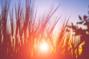 Silhouette of wheat ears during sunset warm light come up through the wheat.