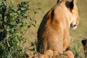 lions v2.jpg