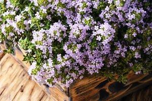 Flowering bush of thyme