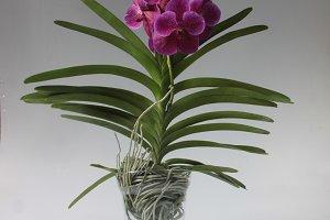 Pink Orchid vanda
