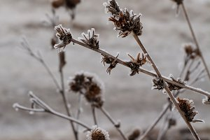 Winter frost on dry herbs.