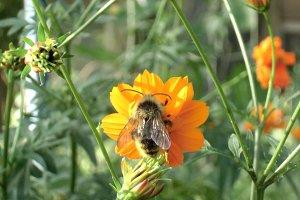 Bee on orange cosmos flower