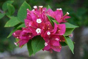 Beautiful Pink Bougainvillea