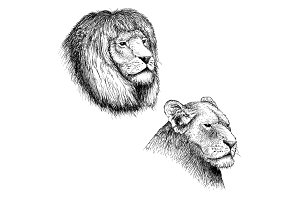 head of lion and lioness