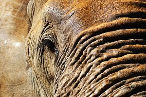 Elephant close up with tusk