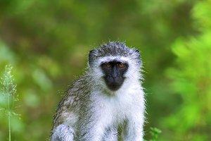 Wet vervet monkey