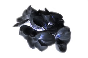 Photograph of flowers of black color