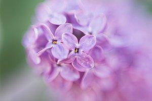 Macro image of lilac.