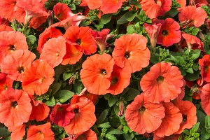 Salmon flowered petunias blooming