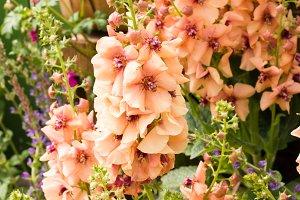 Basket of snapdragon flowers