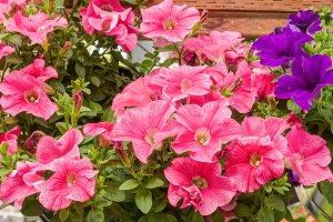 Pink petunia flowers on display