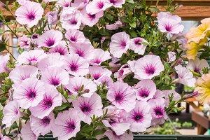Pink petunia flowers in a basket