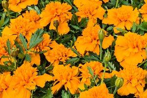 Marigold flowers on display