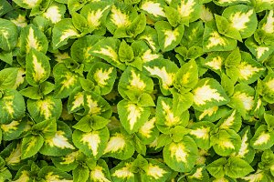 Display of coleus plants with green and white leaves