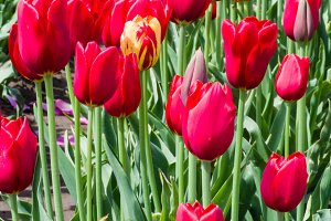 Group of red tulips with a single yellow