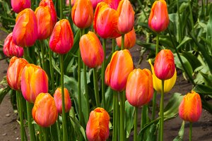 A group of colorful orange tulips