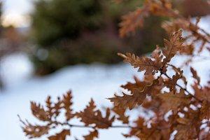 Oak leaves closeup