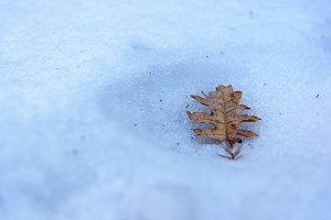 Oak leaf lies on snow