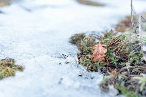 Oak leaf on snow with moss
