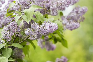 bunch of lilac flowers in front of garden