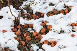 Orange apples lying in the snow