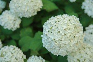 White Hydrangea.