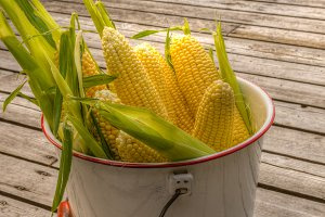 Bucket of fresh yellow sweet corn