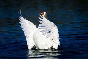 Goose opening wings