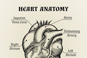 Black and White Heart Anatomy