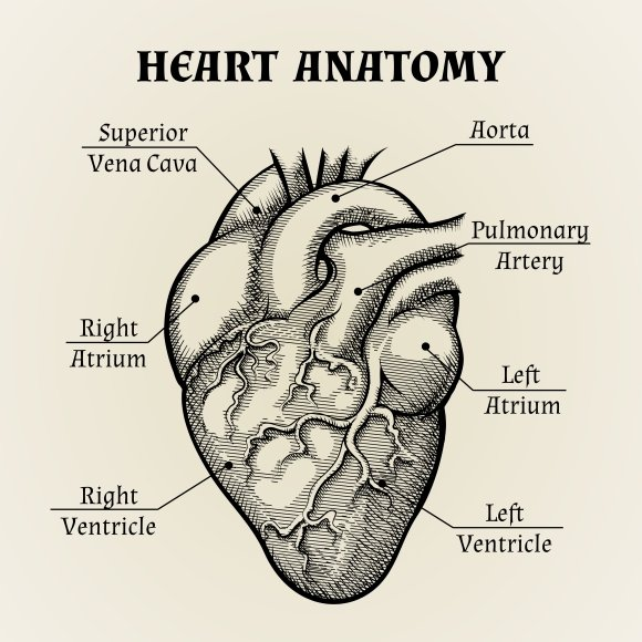 Black and White Heart Anatomy ~ Illustrations ~ Creative Market