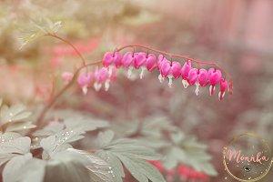 Heart shaped fuschia flowers