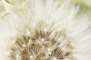 Macro photography of a dandelion