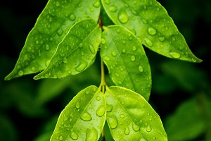 water drop on leaves after the rain
