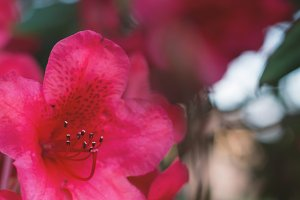 Red Rhododendron Close Up