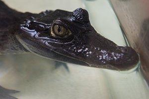 Beautiful caiman crocodile