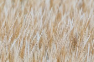 Barley texture