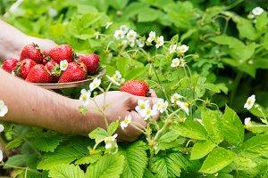 Man picking up strawberries in garden