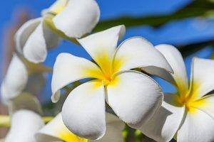 Blossom frangipani plumeria flower tree