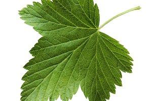 Leaf currant