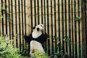 Giant Back Panda