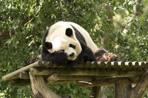 Panda bear sleeping the nap