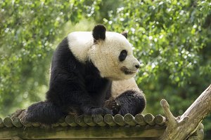 Panda bear watching